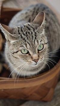 Аватар вконтакте Кошка в корзине