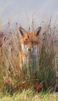 Аватар вконтакте Лисица спряталась в высокой траве