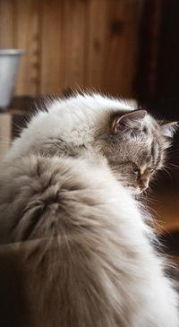 Аватар вконтакте Пушистая кошка сидит, наклонив голову в сторону
