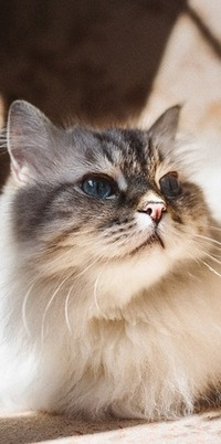 Аватар вконтакте Пушистая кошка c голубыми глазами