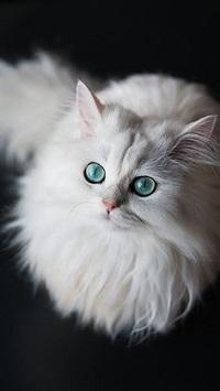Аватар вконтакте Белая кошка с голубыми глазами