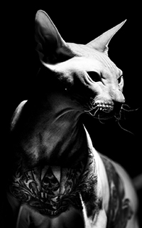 Аватар вконтакте Кот, породы сфинкс, с татуировкой на груди, фотограф chabanov
