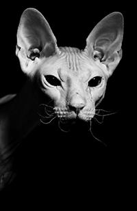 Аватар вконтакте Морда кота сфинкса на черном фоне, фотограф chabanov