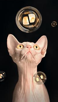 Аватар вконтакте Кот, породы сфинкс, смотрит на мыльные пузыри, фотограф Полякова Татьяна