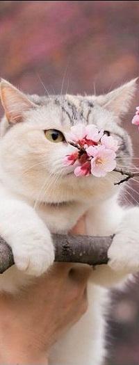 Аватар вконтакте Кошка на ветке дерева нюхает весенние цветы