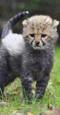 99px.ru аватар Детеныш гепарда стоит на траве
