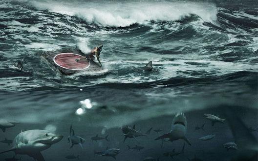 Обои Смертельная схватка или новый вид спорта? (В бушующем океане на хлипком плотике идет борьба не на жизнь, а на смерть, под ним нервно прогуливается сомнище акул)