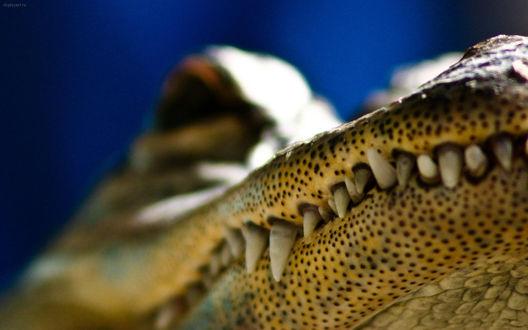 Обои Крокодил