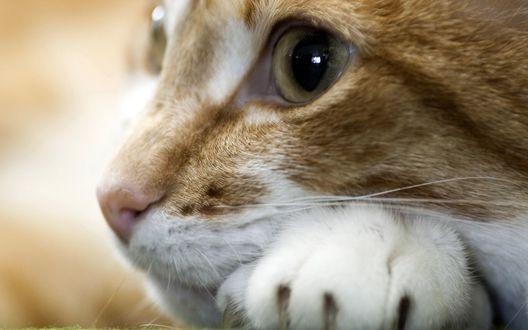 Обои Рыжий (кошачья мордочка внимательно смотрит на нас почти человеческим взглядом)