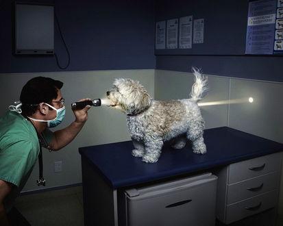 Обои На приёме у ветеринара (врач светит фонариком болонке в рот, луч просвечивает её насквозь)