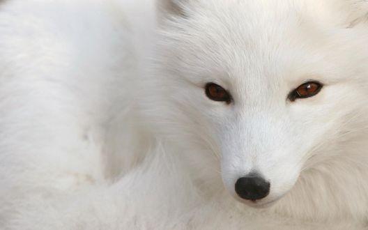 Обои Белый лис