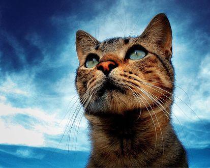 Обои Кошка смотрит на небо