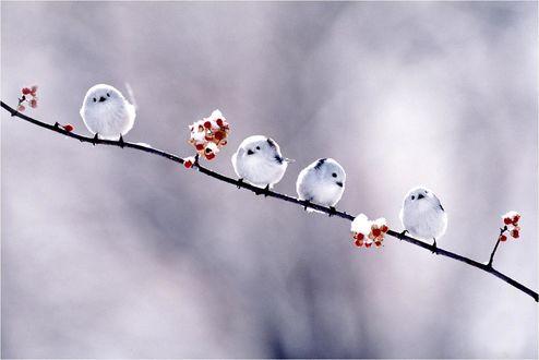 Обои Маленькие белые птичке на ветке зимой