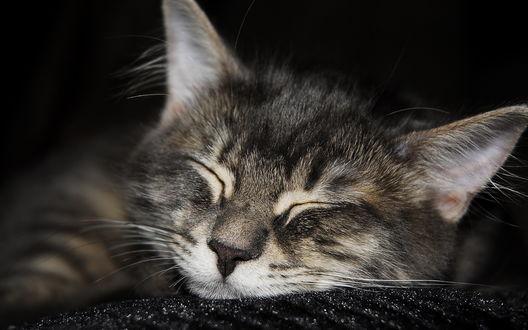 Обои Спящий кот или кошка