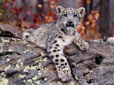 Обои Детёныш гепарда