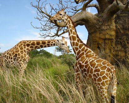 Обои Два жирафа в саванне