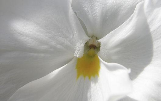 Обои Пестик белого цветка