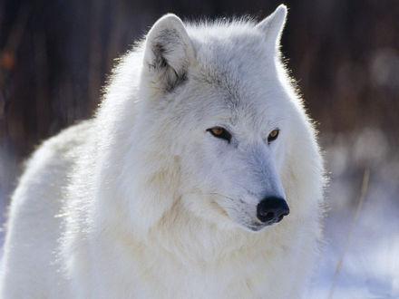 Обои Белый волк