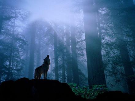 Обои волк воет в темном лесу