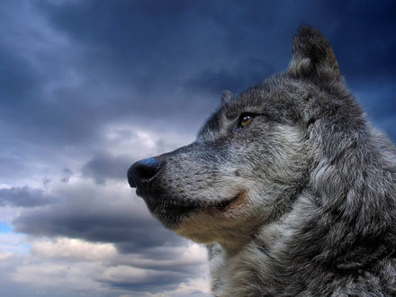 Обои Морда волка в профиль, красавец