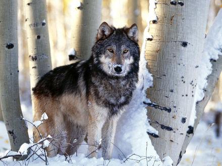 Обои Волк в снегу, в березовом бору