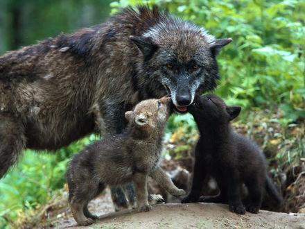 Обои Волчица с детенышами