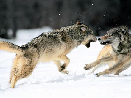 Обои Драка серых волков