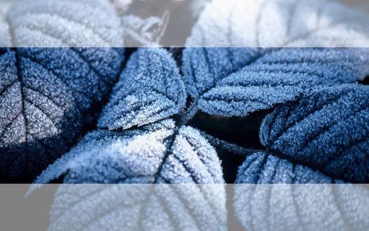 Обои Синие листья покрытые инием