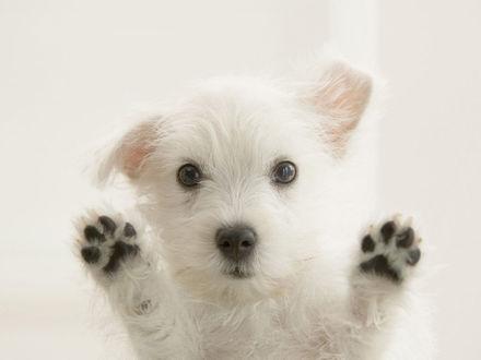 Обои Беленький щенок
