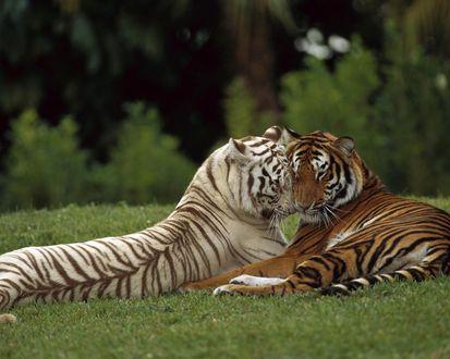 Обои Два влюбленных тигра