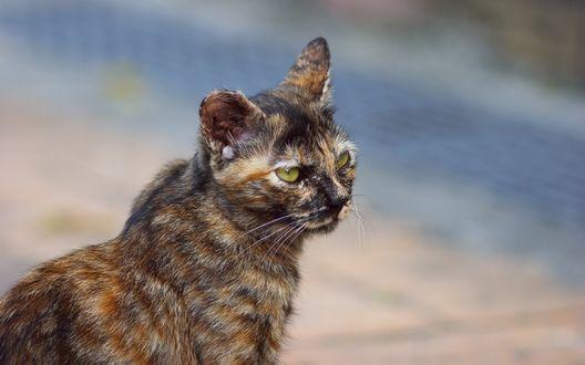 Обои Трехцветный кот с зелеными глазами