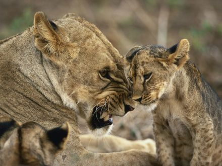 Обои Мама львица явно не довольна своим львенком
