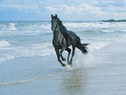 Обои Вороной конь несётся по кромке прибоя, весь в брызгах морской пены