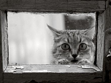 Обои Серая киса заглядывает в окно