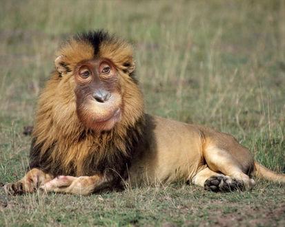 Обои Лев с мордой обезьяны
