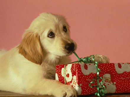 Обои Собака развязывает бантик на подарке