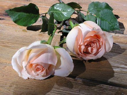 Обои Две розы