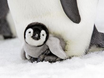 Обои Пингвин