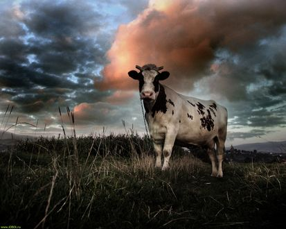 Обои Корова на лугу