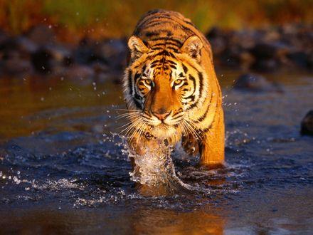 Обои Тигр в воде