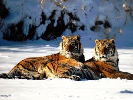 Обои Тигры на снегу