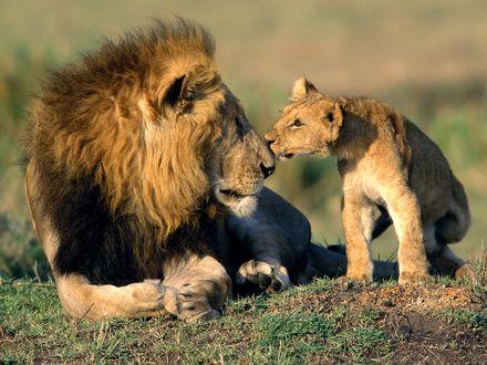 Обои Львенок нюхает льва