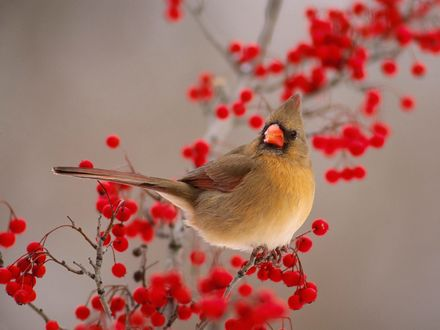Обои Самка красного кардинала