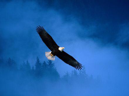 Обои Орёл в небе