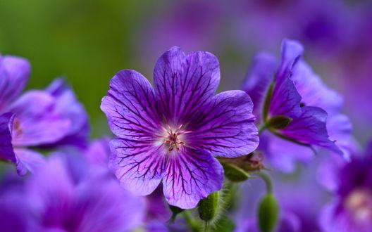 Обои Сиреневый цветок