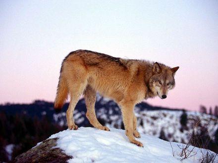 Обои Волк на фоне заката