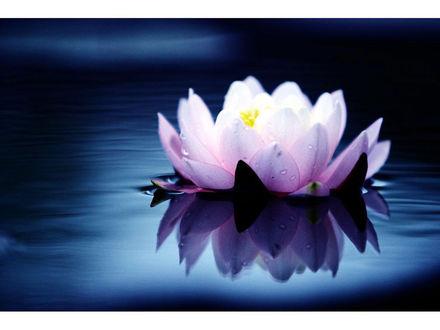 Обои Цветок лотоса на воде