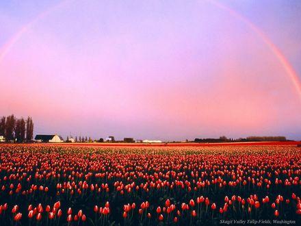 Обои Skagit Valley Tulip Fields, Washington
