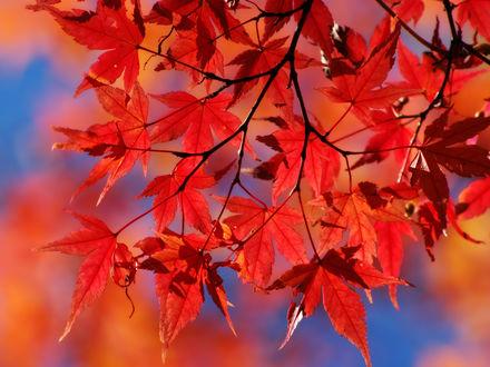 Обои Красные листья
