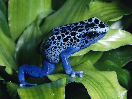 Обои Синяя лягушка